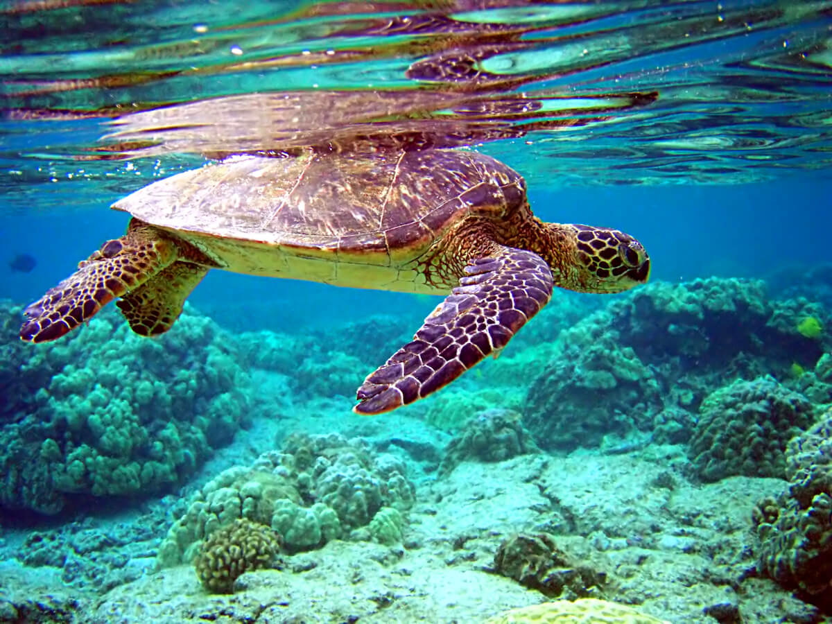 Sea turtles are a common sight in the Caribbean Sea